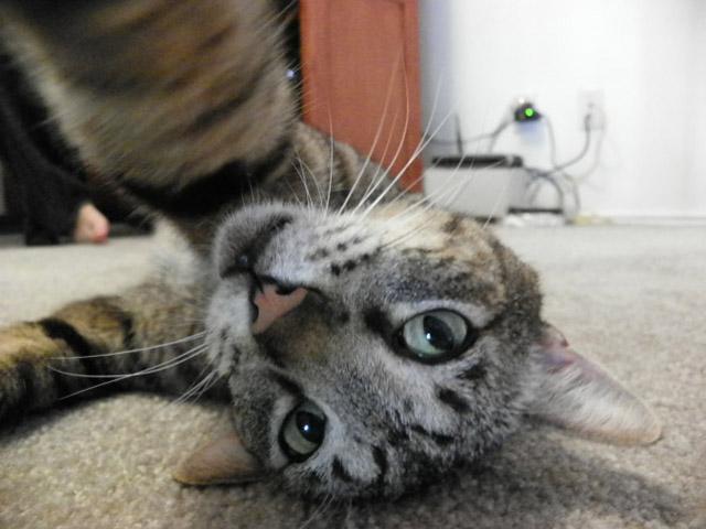 gatos-selfies-11