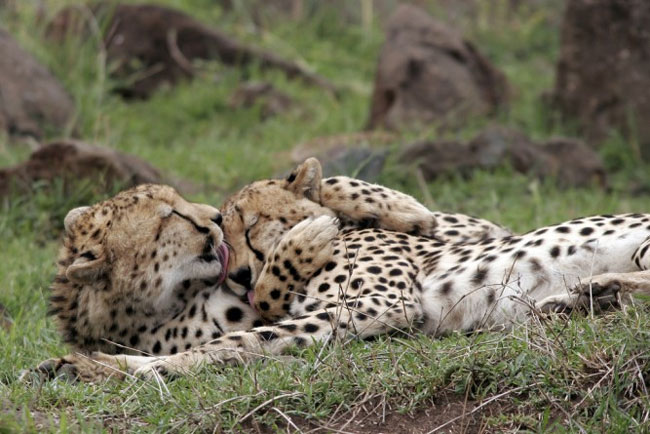 loving-animals-using-each-other-as-pillows-my-heart-has-melted-completely-13