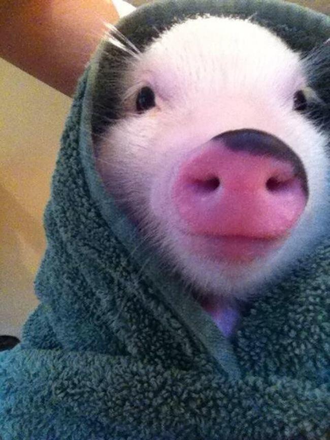 razoes-criar-mini-porcos-14