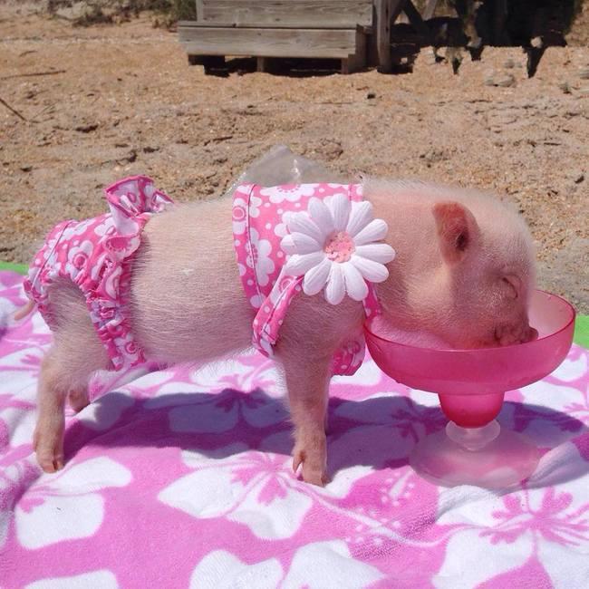 razoes-criar-mini-porcos-2