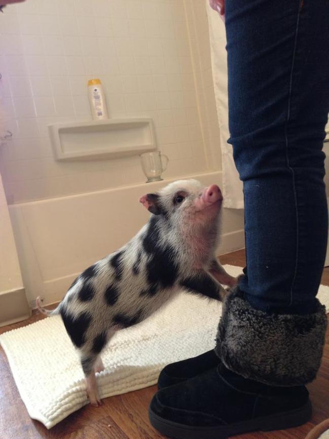 razoes-criar-mini-porcos-3