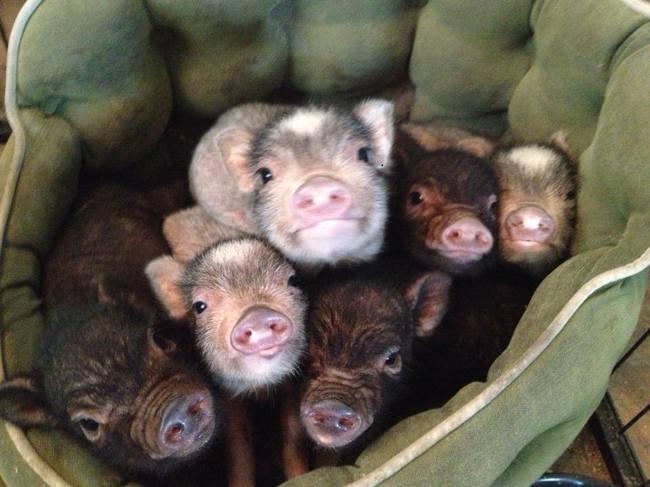 razoes-criar-mini-porcos-5