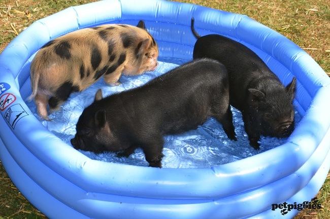 razoes-criar-mini-porcos-7