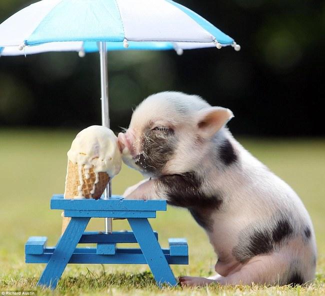 razoes-criar-mini-porcos-9