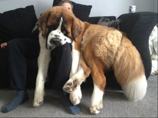 cachorros-gigantes-1