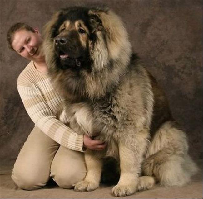 cachorros-gigantes-12
