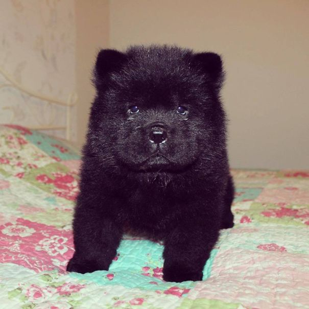 Dog That Looks Like a Bear Cub Is a Real Head Scratcher