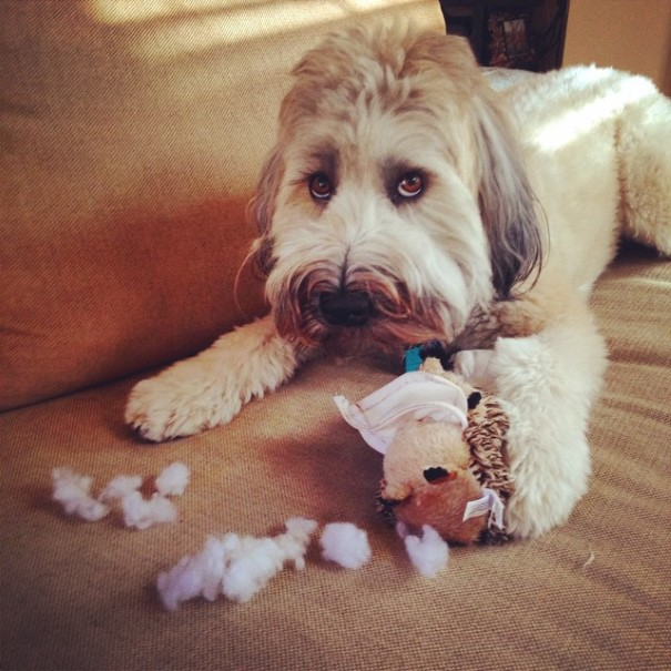 cachorro-envergonhado-1