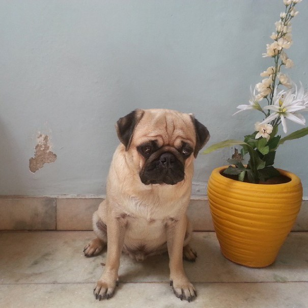 cachorro-envergonhado-16