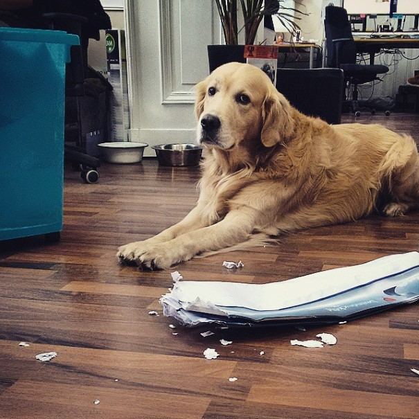 cachorro-envergonhado-20