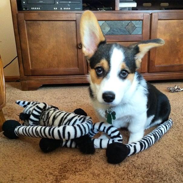 cachorro-envergonhado-4