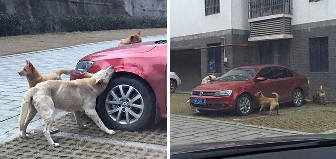 Cachorro de rua chutado por um motorista volta com reforços para danificar seu carro