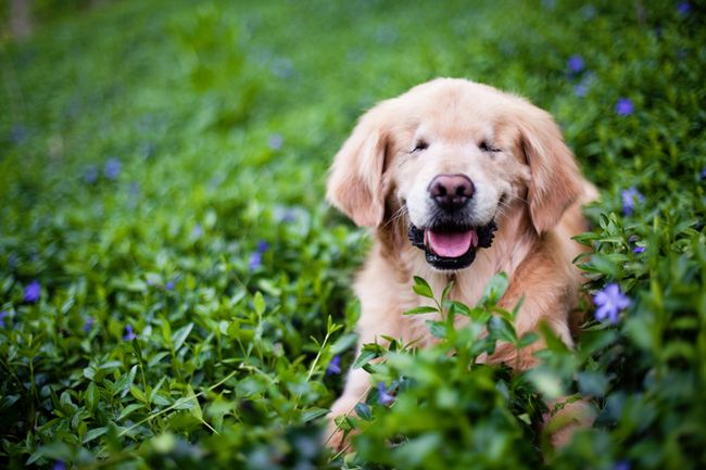 golden-retriever-cego-1