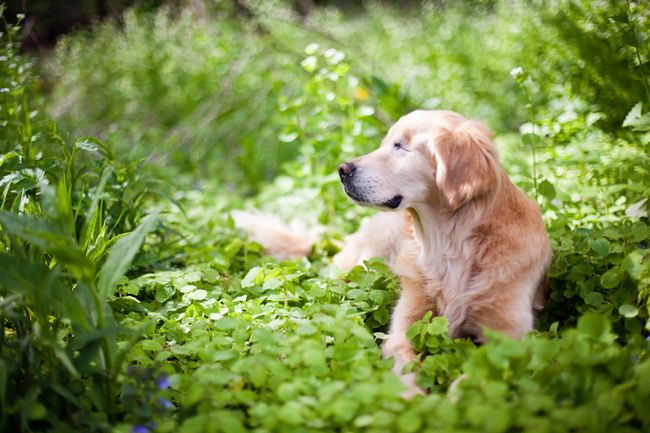 golden-retriever-cego-3