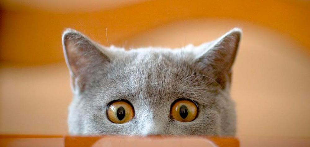 Os 25 piores tipos de gatos que existem no mundo
