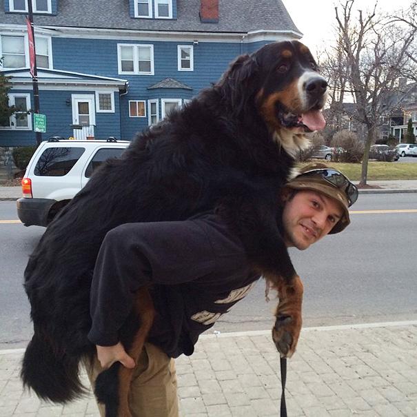 cachorros-muito-grandes-12
