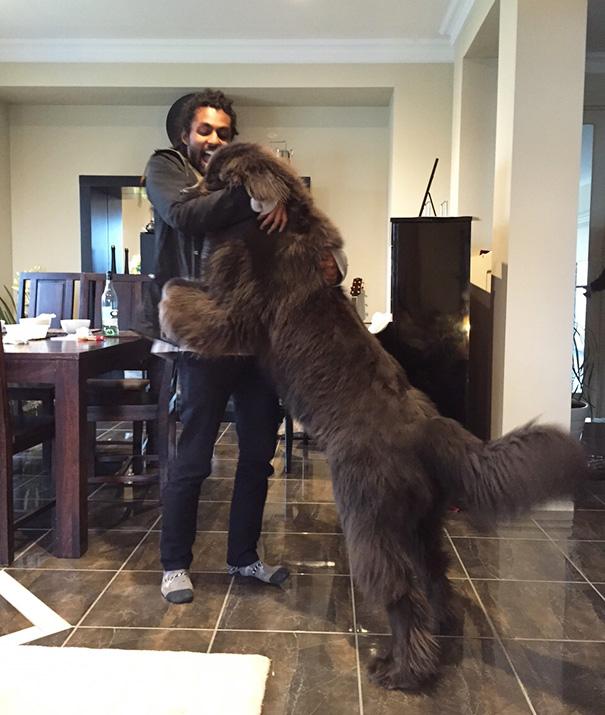 cachorros-muito-grandes-15
