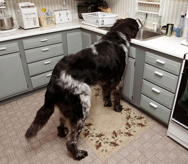 cachorros-muito-grandes-18