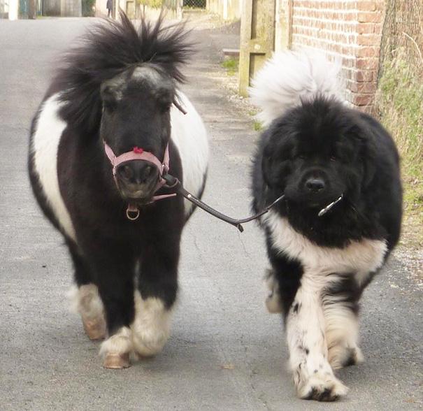 cachorros-muito-grandes-2