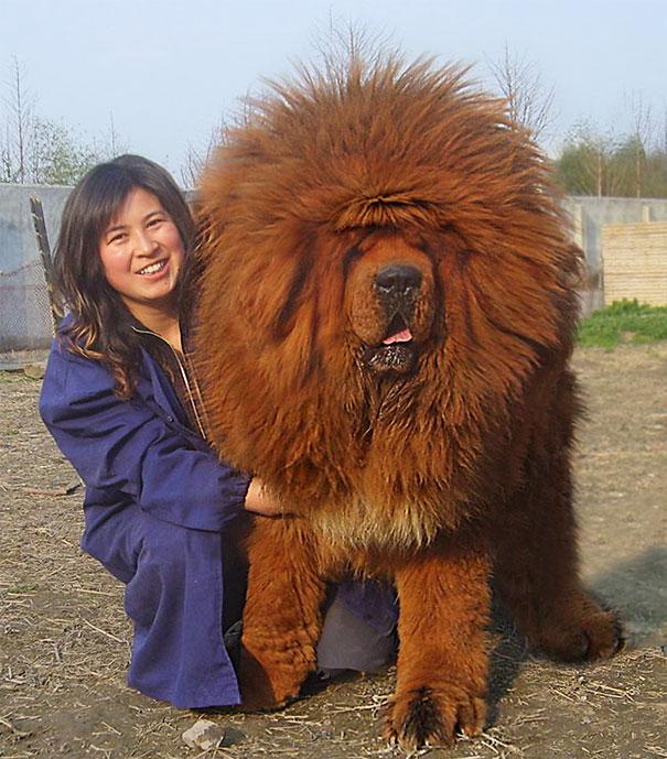 cachorros-muito-grandes-7