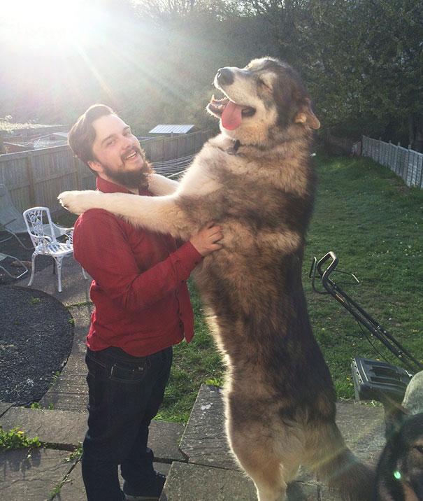 cachorros-muito-grandes-8