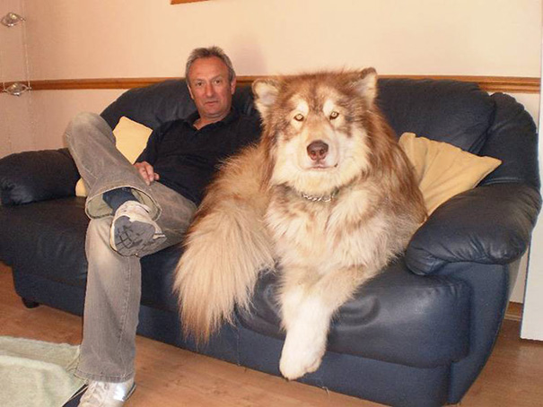 cachorros-muito-grandes-9