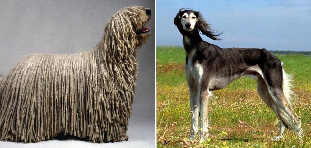 10 Das raças de cachorro mais raras do mundo
