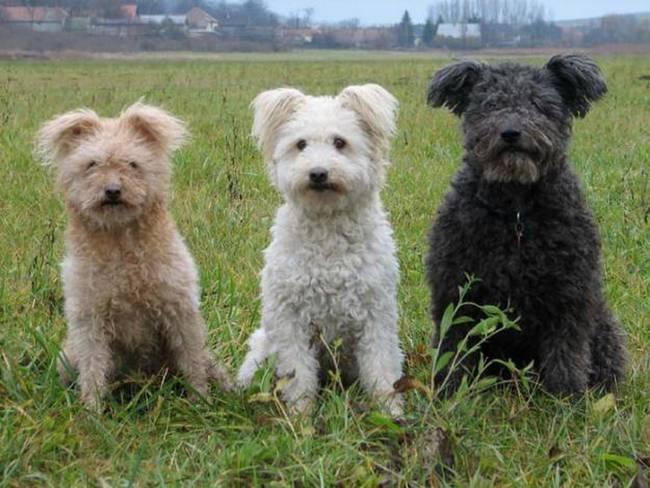 raças-de-cachorro-mais-raras-do-mundo-1