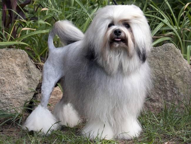 raças-de-cachorro-mais-raras-do-mundo-10