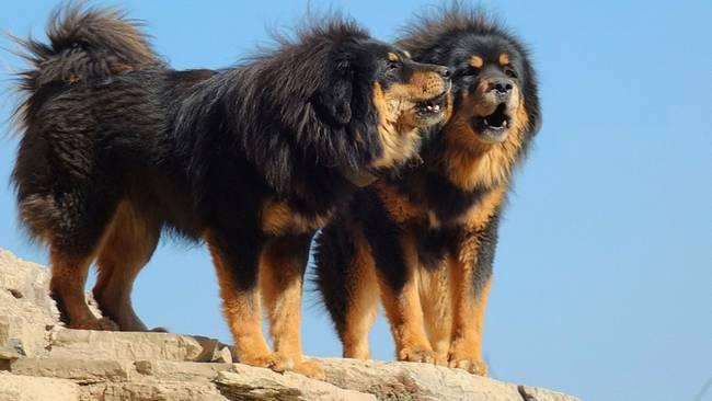 raças-de-cachorro-mais-raras-do-mundo-2