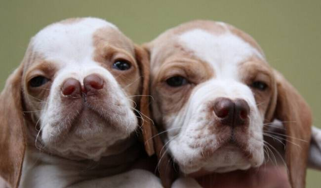 raças-de-cachorro-mais-raras-do-mundo-3
