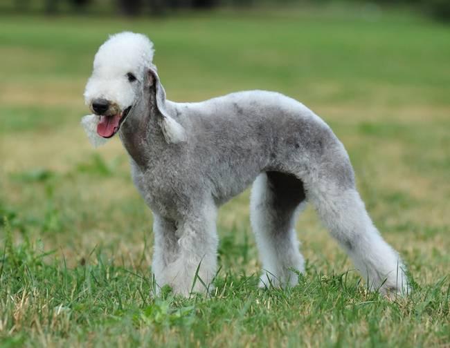 raças-de-cachorro-mais-raras-do-mundo-4
