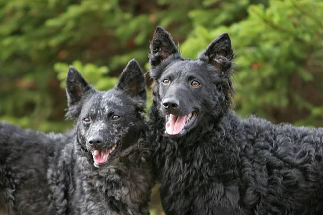 raças-de-cachorro-mais-raras-do-mundo-5