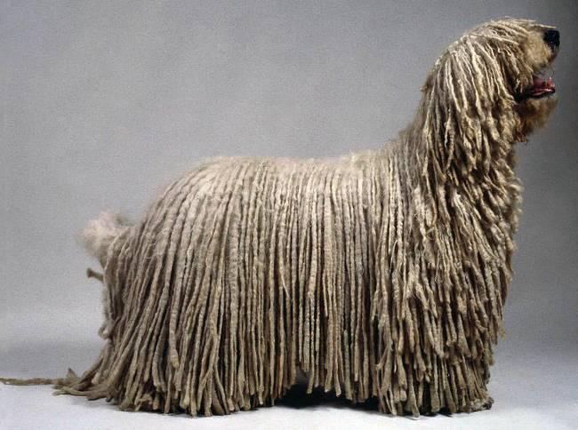 raças-de-cachorro-mais-raras-do-mundo-6