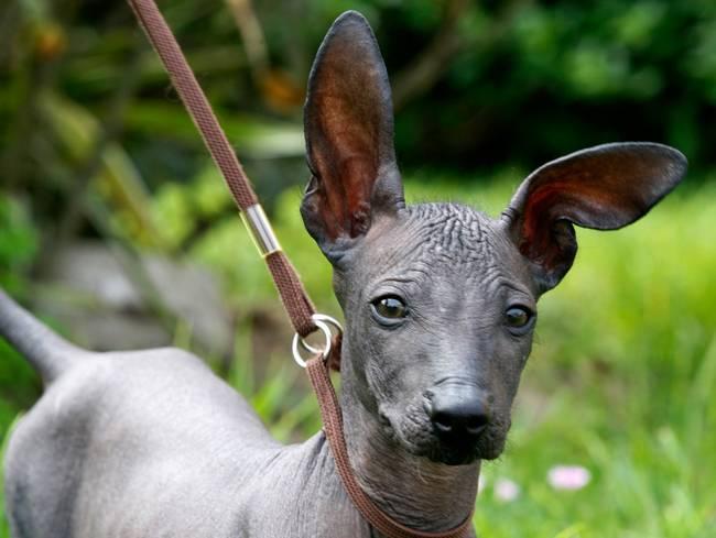 raças-de-cachorro-mais-raras-do-mundo-7