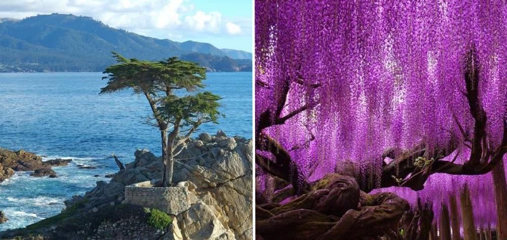 Celebridade vegetal   Conheça algumas das árvores mais belas e famosas do mundo