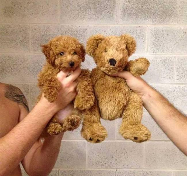 cachorros-que-se-parecem-com-outras-coisas-4