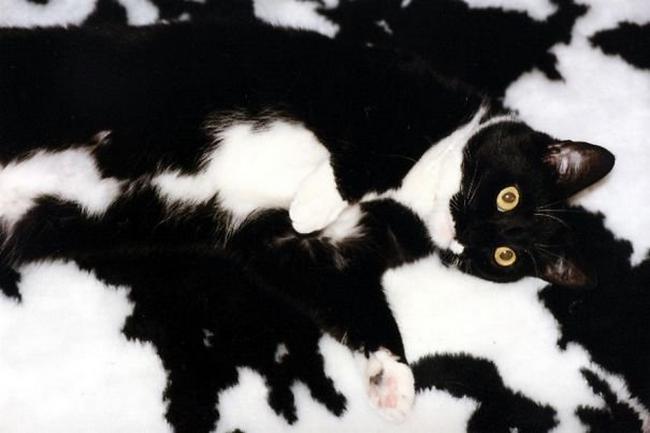 gatos-camuflados-5