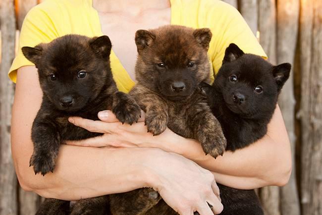 cachorros-que-se-parecem-com-bichinhos-de-pelúcia-12