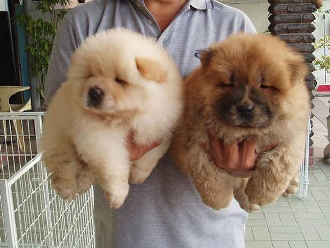 cachorros-que-se-parecem-com-bichinhos-de-pelúcia-15
