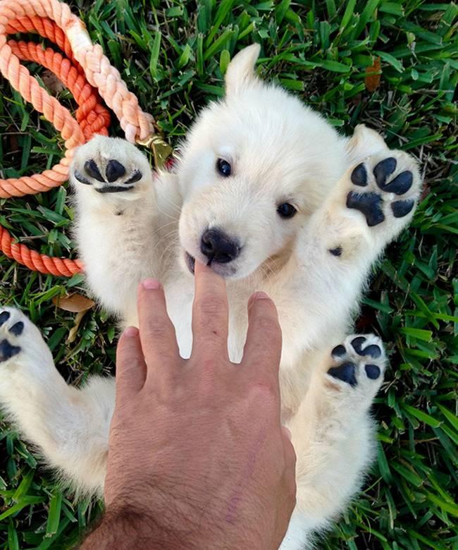 cachorros-que-se-parecem-com-bichinhos-de-pelúcia-2