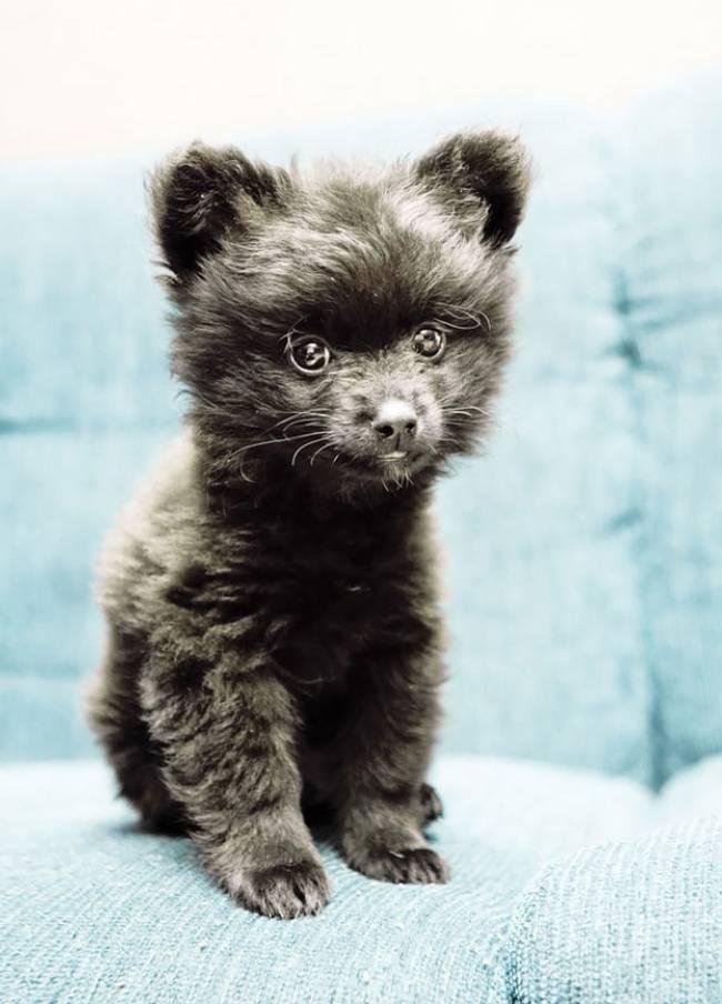 cachorros-que-se-parecem-com-bichinhos-de-pelúcia-7