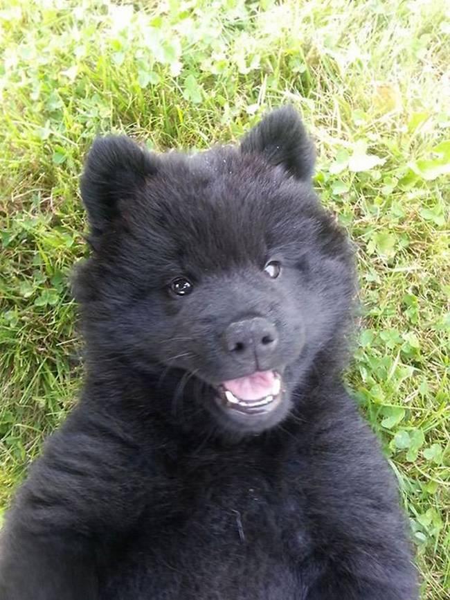cachorros-que-se-parecem-com-bichinhos-de-pelúcia-9