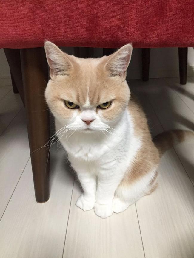 Conheça o gato que está claramente p%t# com tudo e com todos