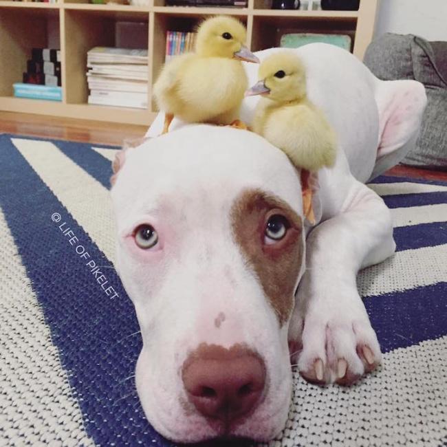 Cachorro-Pato-3