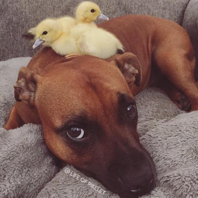 Cachorro-Pato-4