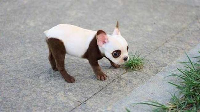 Cachorro-Pelagem-Diferente-12
