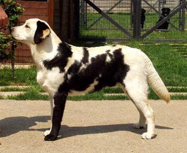 Cachorro-Pelagem-Diferente-13