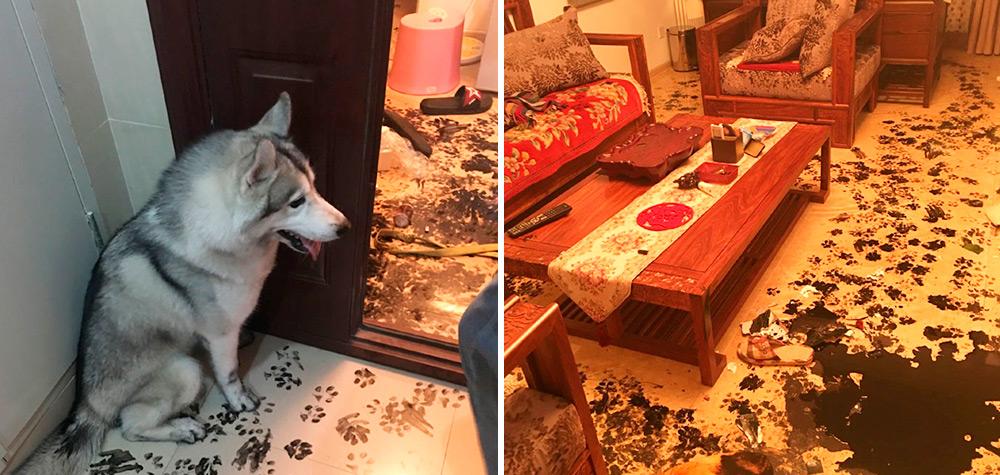 Família deixa Husky sozinho por 3 horas e ele redecora todo o apartamento