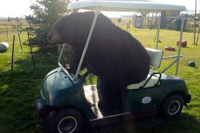ursos-esqueceram-de-ser-ursos-12